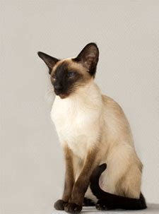 Siamese Cats - info and games